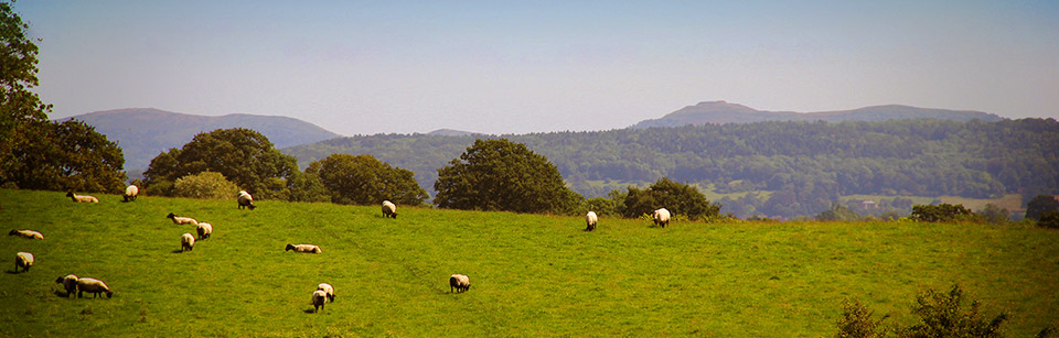 Malvern Hills with sheep