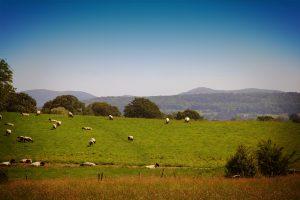Malverns with sheep